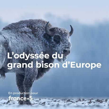 L'odyssée du grand bison d'Europe